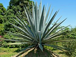 Agave_tequilana_2